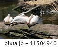 ペリカン モモイロペリカン 鳥の写真 41504940