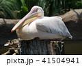ペリカン モモイロペリカン 鳥の写真 41504941
