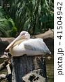 ペリカン モモイロペリカン 鳥の写真 41504942