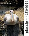 ペリカン モモイロペリカン 鳥の写真 41504944