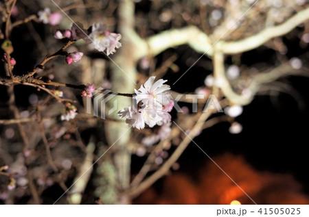 冬のイルミネーションが彩る冬桜のクローズアップ 41505025