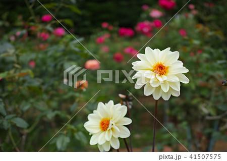 ダリアのスワンレイクと思われる花 41507575