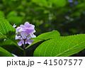 花 アジサイ ガクアジサイの写真 41507577