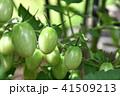 成長中のミニトマト 41509213