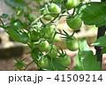 成長中のミニトマト 41509214