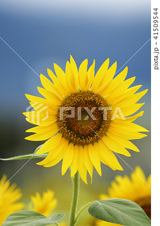 ひまわり ヒマワリ 向日葵 夏 コピースペース 鮮明 黄色 自然 41509544