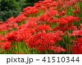 彼岸花 花 群生の写真 41510344