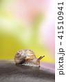 カタツムリ マイマイ 蝸牛の写真 41510941