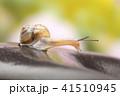 カタツムリ マイマイ 蝸牛の写真 41510945