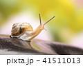 カタツムリ マイマイ 蝸牛の写真 41511013