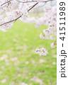 満開の桜 -ソメイヨシノ- 41511989