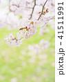 満開の桜 -ソメイヨシノ- 41511991
