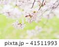 満開の桜 -ソメイヨシノ- 41511993