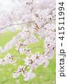 満開の桜 -ソメイヨシノ- 41511994