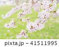 満開の桜 -ソメイヨシノ- 41511995