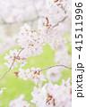 満開の桜 -ソメイヨシノ- 41511996