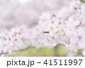 満開の桜 -ソメイヨシノ- 41511997