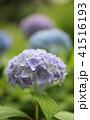アジサイ 紫陽花 植物の写真 41516193