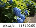紫陽花 41519265