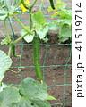 キュウリの栽培 41519714