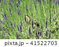 ラベンダーの蜜を吸うキアゲハ 41522703