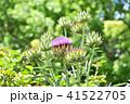 アーティーチョークの花とつぼみ 41522705