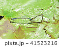 産卵中のイトトンボ 41523216