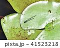 オスのイトトンボ 41523218