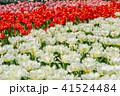 チューリップ畑 チューリップ 花の写真 41524484