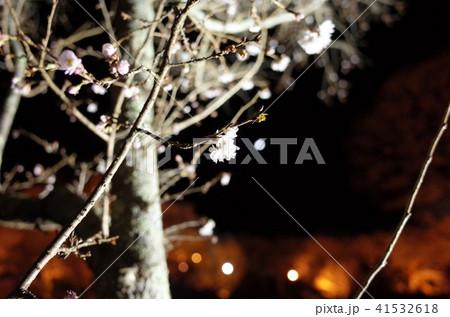 イルミネーションが彩る美しい冬桜と満月 41532618