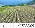 キャベツ 玉菜 野菜の写真 41533309