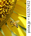 ミツバチ セイヨウミツバチ ひまわり ヒマワリ 向日葵 夏 コピースペース 鮮明 黄色 自然 41537452