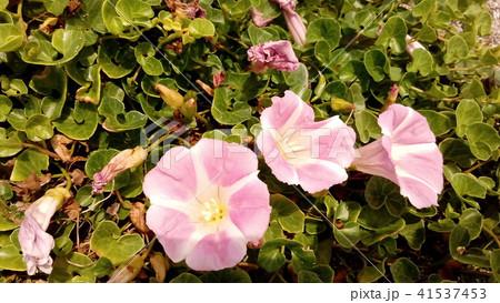 検見川浜に綺麗に咲いたハマヒルガオ 41537453