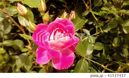 桃色のバラの花 41537457