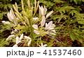 酔蝶花と呼ばれるクレオメの白色の花 41537460