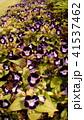 紫色縁取りの白いr花はトレニアの花 41537462