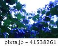 雨上がりの光に透過されたアジサイ 41538261