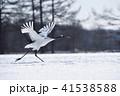 飛び立つ 鳥 タンチョウの写真 41538588