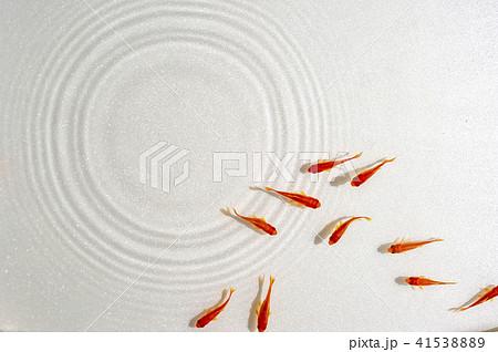 泳ぐキンギョ 41538889
