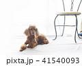 トイプードル レッド 犬の写真 41540093