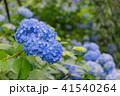 紫陽花 本紫陽花 姫紫陽花の写真 41540264