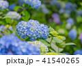 紫陽花 本紫陽花 姫紫陽花の写真 41540265