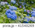 紫陽花 本紫陽花 姫紫陽花の写真 41540269