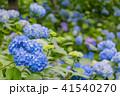 紫陽花 本紫陽花 姫紫陽花の写真 41540270