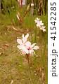 蝶のような形の白い花ガウラ 41542285