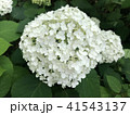 紫陽花 41543137