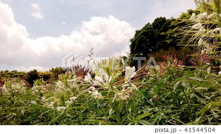 酔蝶花と呼ばれるクレオメの白色の花 41544504