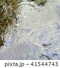 池の鯉 41544743