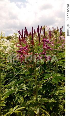 酔蝶花と呼ばれるクレオメの紫色の花 41548548