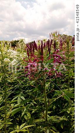 酔蝶花と呼ばれるクレオメの紫色の花 41548549